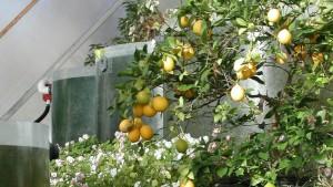 ark lemons